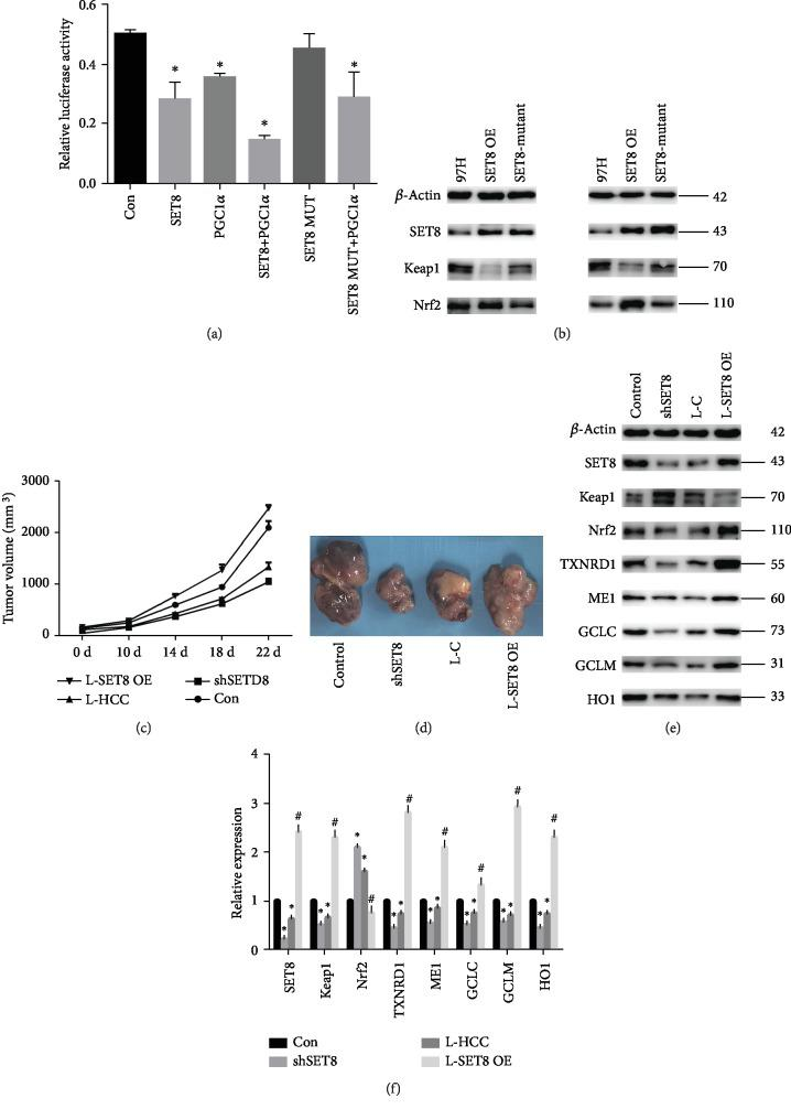 SET8 interacts with PGC1 α to regulate Keap1 in HCC cells in vitro , and fasting inhibits HCC growth via SET8 inhibition in vivo . (a) The effects of SET8, PGC1 α , and mutant SET8 on Keap1 luciferase activity in HCC-LM3 cells. (b) Western blotting was used to detect the SET8, Keap1, and Nrf2 proteins in MHCC-97 and HCC-LM3 cells overexpressing wild-type or mutant SET8. (c, d) Tumour growth following subcutaneous injection in the right flanks of Balb/c nude mice with 97H control cells, 97H-shSET8 cells, or 97H-SET8 overexpression cells ( n = 6). (e) Western blotting was used to detect proteins SET8 and Keap1/Nrf2/ARE signalling pathway components in mice. (f) The mRNA expression of SET8 and Keap1/Nrf2/ARE signalling pathway components was examined by qPCR in vivo . Data are shown as the mean ± SD of five independent experiments. ∗ P