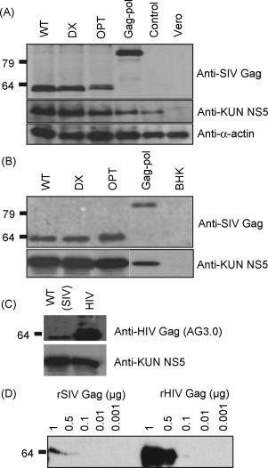 Analysis of SIV gag expression from the four different Kunjin SIV gag constructs. (A) Analysis of SIV Gag protein expression after infection of Vero cells with Kunjin VLPs. Cells were lysed after 48 h incubation and total cell lysates analysed by western blot using anti-Gag antibody (55-2F12). (B) As for A except that BHK cells were transfected with RNA for each of the vaccine constructs. (C) Comparison of SIV Gag and HIV Gag protein expression after infection of Vero cells as above with WT and HIV-1 VLPs using the AG3.0 antibody. (D) Comparison of the reactivity of AG3.0 in western analysis with serial dilutions of purified recombinant SIV Gag and recombinant HIV Gag proteins.