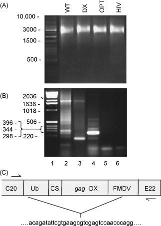 Analysis of insert deletions in the Kunjin SIV gag vaccines. (A) Non-denaturing agarose gel and ethidium bromide staining of in vitro transcribed RNA for the indicated constructs prior to transfection of packaging cells and VLP manufacture. Note the double-stranded DNA markers do not accurately illustrate the size of the transcribed single-stranded RNA species, which are about 10.5 kb. (B) Vero cells were infected with WT (lane 2), DX (lane 3), empty VLPs (lane 4) or nothing (lane 5) and RT-PCR performed on extracted RNA using primers flanking the multiple cloning site region into which the gag genes were inserted for the former two constructs. Lane 1 shows the markers and lane 6 no template control. (C) Sequencing of the ≈180 bp fragment from DX transfected cells. The insert deletion is schematically represented with the sequence either side of the insert deletion site given beneath.