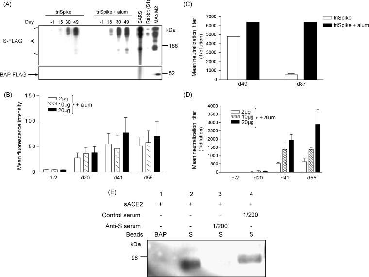 Immunogenicity of triSpike. Sera collected at indicated time points from vaccinated mice or hamsters were analyzed for reactivity with triSpike. (A) Western Blot analysis of pooled sera from immunized mice with or without alum adjuvant. Sera were collected and used at 1/1000 dilution against S-FLAG that was separated under conditions that allowed simultaneous detection of mono-, di-, and trimers of S-protein. A SARS patient serum (SARS), a rabbit serum against S1 and M2 monoclonal antibody against the FLAG peptide was used as control. FLAG-tagged bacterial alkaline phosphatase (BAP-FLAG) was used to assess the presence of antibodies against the FLAG tag. Immune complexes were detected with HRP-conjugated goat anti-mouse, -human or -rabbit IgG polyclonal antibody. Sizes of molecular weight markers are indicated on the right. (B) Reactivity of immune sera from pooled immunized hamster with live BHK-21 cells expressing S-protein at the plasma membrane using FACS analysis. Values were expressed as mean ± standard deviations. (C) Effect of alum adjuvant on longevity of neutralizing response in mouse sera against SARS-CoV (determined on FRhK-4 cells). Values were expressed as mean ± standard deviations. (D) Dose effect of triSpike immunization with alum adjuvant on neutralizing response against SARS-CoV in hamsters (determined on FRhK-4 cells). Values were expressed as mean ± standard deviations. (E) Inhibition of S-protein binding to ACE2 by sera from immunized mice. S-protein coated beads were pre-incubated with sera prior to incubation with soluble ACE2 (sACE2) and detection of the receptor was performed with a polyclonal goat-anti human ACE2 antibody. BAP-FLAG coated beads were used as control.