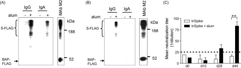 Induction of mucosal immune response in triSpike plus alum vaccinated mice. (A) Antibodies prepared from fecal samples collected at day 44 post-immunization were reacted against S-protein as described in Fig. 2 A. Immune complexes were detected with HRP-conjugated goat anti-mouse IgG or IgA polyclonal antibody. (B) Similar as (A) except that Western Blot analysis was performed with pooled nasal lavage samples collected at day 65. (C). Antibodies prepared from fecal samples of vaccinated mice were analyzed for neutralizing activity against SARS-CoV infection on FRhK-4 cells. Weak neutralizing activity was detected after the third immunization only. Asterisk (**) indicates the value of p