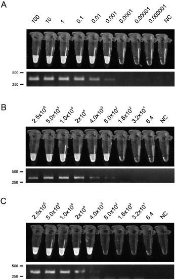 Analytical sensitivity of T. foetus 5.8S rDNA LAMP. (A) DNA from T. foetus GM032 at different concentrations used for both LAMP (top) and PCR (bottom) assays. Detection limit ≈10 pg. (B) Sensitivity of LAMP assayed with crude DNA consisting of lysates of T. foetus cells in saline solution. Detection limit ≈4 × 10 3 cells/mL. (C) Sensitivity of LAMP assay for smegma spiked with different concentrations of T. foetus GM032. Detection limit ≈4 × 10 3 cells/mL. DNA (ng) and organism concentration (cells/mL) used for LAMP and PCR are indicated in the top of the gels. NC: negative control without DNA or without cells. The position of the molecular markers (from a 50 bp marker) are indicated in the left side of the gels. The results corresponded to three independent experiments were performed by triplicate.