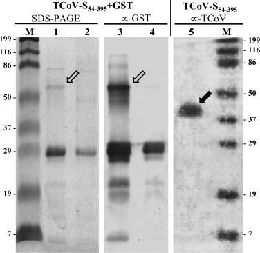 Production and confirmation of antigenicity of TCoV-S 54–395 recombinant protein produced by E. coli BL21 transfected with pGEX-4T3-TCoV-S 54–395 using 12% discontinuous SDS-PAGE (lanes 1–2) and subsequent Western blotting with anti-GST antibodies (lanes 3–4) or experimentally derived turkey sera against TCoV (lane 5). Lanes: (M) Molecular weight markers, in kiloDalton; (1) purified TCoV-S 54–395 +GST fusion protein (∼67 kDa, open arrow) from bacterial lysate after induction with IPTG; (2) same as lane 1 but from non-induced bacterial culture; (3 and 4) Western blot of samples as in lanes 1 and 2, respectively, using anti-GST antibodies against the TCoV-S 54–395 +GST fusion protein (∼67 kDa, open arrow, lane 3). (Lane 5) Purified TCoV-S 54–395 recombinant protein (cleaved from TCoV-S 54–395 +GST fusion protein by thrombin protease and subsequently purified) was recognized by turkey serum antibodies against TCoV (∼38 kDa, solid arrow).
