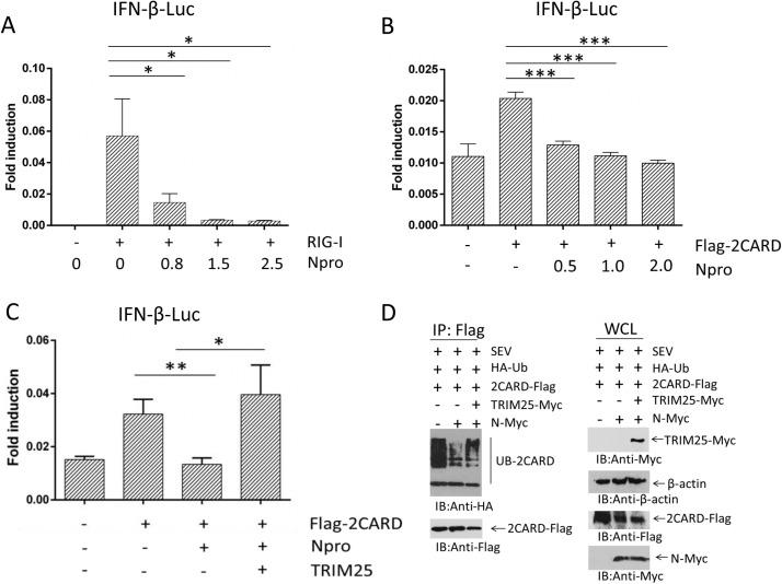 The PRRSV N protein inhibits TRIM25-mediated RIG-I activation and IFN production. (A and B) HEK293 T cells seeded in 24-well plates were co-transfected using the firefly luciferase reporter plasmid IFN- β -Luc and the Renilla luciferase control reporter plasmid pRL-TK. For the experiment, pCAGGS-RIG-I-Flag (0.25 μg), or pCAGGS -2 CARD (0.25 μg), pCAGGS-N-HA were co-transfected. (C) pCAGGS -2 CARD-Flag (0.25 μg), pCAGGS-N-Falg (0.25 μg) and pCAGGS-TRIM25-Myc (0.5 μg) plasmids were cotransfected. The luciferase activity in cell lysates was analyzed using a dual luciferase reporter assay system. (D) HEK293 T cells grown in 6-well plates were co-transfected with plasmids encoding ubiquitin-HA (0.5 μg), Flag-2CARD (0.5 μg), N-Myc (1.0 μg), or TRIM25-Myc (1.0 μg). For the experiment, 24 hpt, the cells were infected with SEV, and 16 hpi, whole-cell lysates were analyzed by immunoprecipitation using the indicated antibodies to detect the ubiquitination of RIG-I-CARD. The data are presented as the mean ± SD from three experiments. The statistical significance of differences was determined using Student's t -test (* p