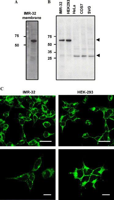Characterization of the molecule recognized by 24D2. (A) Immunoblotting analysis with membrane extracts derived from IMR-32 cells. Aliquots of 20 μg of the detergent-solubilized IMR-32 membrane fraction were loaded and immunoblotted with 24D2 at a dilution of 1:60. (B) Immunoblotting analysis with various cell lysates. The membrane fractions were prepared from IMR-32, HEK293, COS7, HeLa, and SVG-A cells. Molecular size markers are indicated on the left of the column. (C) Subcellular localization of the molecule recognized by 24D2 in IMR-32 and HEK-293 cells. Methanol-fixed cells were incubated with 24D2 at a dilution of 1:60, following Alexa Fluor 488-conjugated goat anti-mouse IgM. The immunofluorescence signal is represented as a green color. The lower panels show higher magnifications of the upper panels. Bars, 20 μm (upper panels) and 10 μm (lower panels).