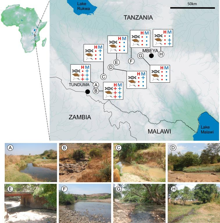 Locations of eDNA sampling sites in the Mbeya Region of Tanzania in 2018. In total eight sites were surveyed, labelled A-H. The key results from eDNA survey (helix symbol), host snail survey (snail symbol) and test for the presence of schistosomes in snail tissue (cercariae symbol) are given for S . haematobium (H) and S . mansoni (M) assays, with + indicating the site was positive, while a dot indicates no detection was made. Map drawn using the following open source software and data: DIVA-GIS7.5 ( https://www.diva-gis.org ); Africa river network (15 sec resolution), African drainage basin (15sec resolution) and African Digital Elevation Model data (30 sec resolution) from HydroSHEDS ( https://www.hydrosheds.org ); African Water Bodies shapefile from RCMRD GeoPortal ( http://geoportal.rcmrd.org ).