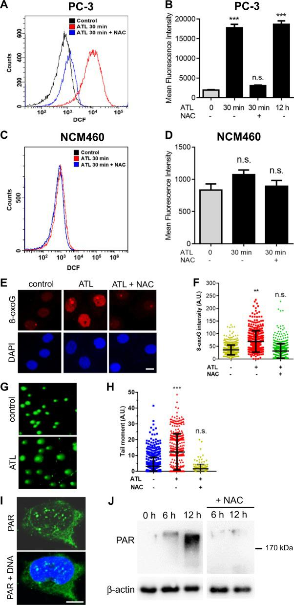 A nontoxic dose of ATL induces oxidative DNA damage and activates PARP in cancer cells. The PC-3 prostate cancer and NCM460 normal colon epithelial cells, with or without 1 h of preincubation in 10 mM NAC, were treated by 10 μM ATL or vehicle control for the indicated times. a , b Measurement of ROS in PC-3 cells by flow cytometry. Data from three independent experiments were presented as mean ± SD. c , d Measurement of ROS in NCM460 cells by flow cytometry. e , f Immunofluorescent staining of cellular 8-oxoG by <t>Cy3-conjugated</t> avidin. PC-3 cells were treated by 10 μM ATL for 12 h (scale bar: 10 μm). Nuclear 8-oxoG intensity was measured using the ImageJ software and the data were processed by the Prism software. g Representative images of alkaline comet assay. PC-3 cells were treated by vehicle control or 10 μM ATL for 12 h. h The tail moment was defined as percentage of tail DNA × tail length, quantified using the TriTek CometScore software. i Immunofluorescence staining for PAR foci in PC-3 cells treated by 10 μM ATL for 12 h. DNA was counterstained with DAPI (scale bar: 5 μm). j Western blot analysis of PAR in PC-3 cells. Ten micrometer ATL resulted in a time-dependent increase in PAR levels which was blocked by NAC. n.s. not significant, ** p