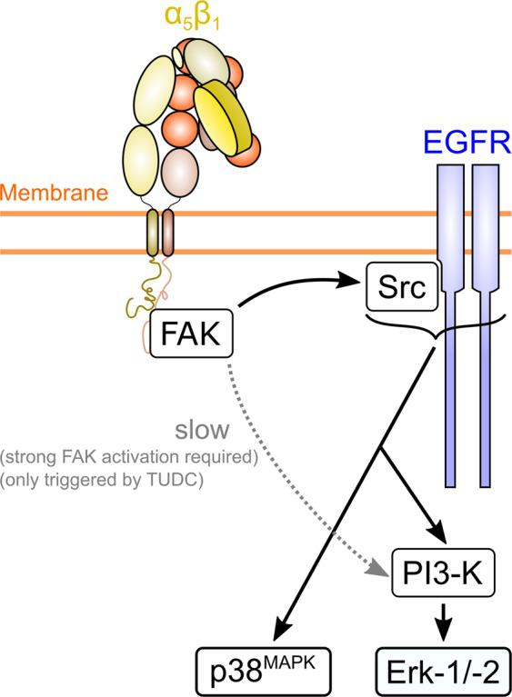 Model of α 5 β 1 integrin activation-dependent differential bile acid signaling. Activation of α 5 β 1 integrin with the less efficacious nor UDCA results in the formation of FAK Y397-P , which leads to c-Src- and PI3-K-dependent Erk-1/2 activation. When α 5 β 1 integrin is activated by the more efficacious TUDC, higher levels of FAK Y397-P result, which, in addition, trigger a slower activation of Erk-1/-2 via PI3-K in a c-Src-independent manner 7 .