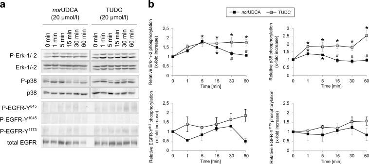"Comparison between nor UDCA- and TUDC-induced Erk-1/-2, p38 MAPK and EGFR activation. Rat livers were perfused with nor UDCA or TUDC (20 µmol/l each) for up to 60 min as described in ""Experimental Procedures"". Liver samples were taken at the time points indicated. Phosphorylation of Erk-1/-2, p38 MAPK , and EGFR tyrosine residues Tyr 845 , Tyr 1045 , and Tyr 1173 was analyzed by ( a ) Western blot using specific antibodies and ( b ) subsequent densitometric analysis (black squares, nor UDCA; gray squares, TUDC). Total Erk-1/-2, total p38 MAPK , and total EGFR served as respective loading controls. Phosphorylation at t = 0 was arbitrarily set to 1. Data represent the mean (mean ± SEM) of at least three independent experiments; * p"