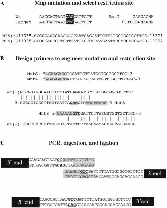 Engineering mutations with the No See'm approach: ( A ) The position of interest, a glutamate (CAG) to alanine (GTC) mutation at position 13354-56, is targeted and mapped to the <t>MHV-E</t> fragment. The vector sequence, the wild-type fragment, and the mutated fragment are analyzed to determine which type IIs restriction enzymes do not cut any of them, and one of these is selected as the restriction site to add. In this case BbsI is selected. (B ) Primers are designed that add the mutation and the restriction site in proper orientation so that upon digestion the restriction site is eliminated and complementing sticky ends are produced. The BbsI cut sites are highlighted in gray. The mutated codon is bold and underlined. (C ) PCR is conducted using vector specific primers along with the newly designed primers that incorporate the mutation of interest to produce two amplicons. These are cloned and purified, and then digested with BbsI and <t>BsmBI</t> to produce a mutated MHV-E fragment that can then be incorporated into the full-length clone.