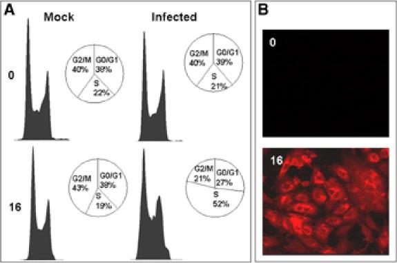 (A) Flow cytometry analysis of mock and avian coronavirus-infected cells at 0 and 16 h post infection. (B) Detection of avian coronavirus protein by indirect immunofluorescence in infected cells. Vero cells were infected with coronavirus for 0 h or 16 h, fixed, and analyzed by indirect immunoflourescence using appropriate antibodies. (Original magnification×620.) The data indicate that infected cells accumulate in S-phase compared with mock infected cells.