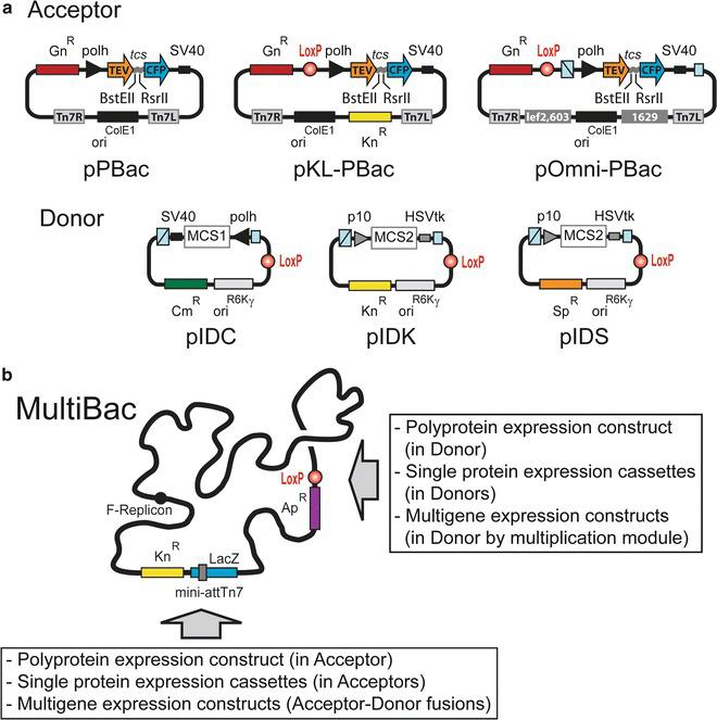 Integration of <t>polyprotein</t> expression cassettes into MultiBac baculovirus. ( a ) MultiBac Acceptor vectors pPBac, pKL-PBac, and pOmni-PBac, tailored for polyprotein production, are shown schematically ( top ). They contain a regular ColE1 origin of replication and a polyprotein expression cassette, which encodes an N-terminal TEV protease and a C-terminal CFP spaced by a TEV cleavage site (tcs). <t>BstEII</t> and RsrII sites are used for inserting the polyprotein encoding ORF of interest. Donor vectors pIDC, pIDK, and pIDS contain a conditional origin of replication derived from the R6Kγ phage [ 13 ]. The multiplication module flanking the expression cassettes contain a homing endonuclease site and a complementary BstXI site ( boxes in light blue ). Polh and p10 are baculoviral very late promoters; SV40 and HSVtk are polyadenylation signals. MCS1 and MCS2 stand for multiple cloning sites. Tn7L and Tn7R are specific DNA sequences for Tn7 transposition; the lef2/603 and Ori1629 homology regions are shown as gray boxes . LoxP sites are shown as red balls . Cm stands for chloramphenicol, Gn for gentamicin, Kn for kanamycin, Sp for spectinomycin. ( b ) Besides polyprotein expression cassettes, single protein and multigene expression cassettes can also be integrated into the Tn7 attachment site (mini-attTn7) harbored by the LacZ (lacZα) gene, or the LoxP site of the MultiBac baculovirus. Ap stands for ampicillin. The F-Replicon is a single-copy bacterial origin of replication. For reagents contact: iberger@embl.fr