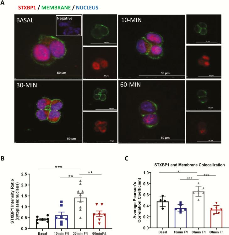 STXBP1 is translocated to the mGLUTag L-cell membrane upon stimulation of GLP-1 secretion. Eight hours after synchronization, mGLUTag L-cells were treated with 50 µM <t>forskolin</t> (F) plus 50 µM <t>IBMX</t> (I) for up to 60 minutes and then immunostained for STXBP1; Wheat Germ Agglutinin was used for the membrane marker. (A) Representative images, (B) STXBP1 cytoplasmic to nuclear intensity ratio (n = 7–9) and (C) Pearson correlation coefficient for colocalization of STXBP1 with the membrane marker (n = 4). * P