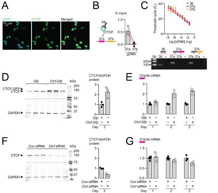 CTCF binds Cacna1b e37a locus in DRG-derived F11 cells and influences e37a splicing. ( A ) CTCF is expressed in F11 cells and is localized to cell nuclei. Fluorescence images show DAPI (nuclear maker), anti-CTCF, and overlay. ( B ) CTCF ChIP-qPCR targeted to Cacna1b e37 loci in F11 cells (Paired t-test, P value = 0.0274 for e37a vs e37b) (three biological replicates per condition). ( C ) Efficiency and specificity of qPCR primers. Cacna1b e36, e37a and e37b-specific primers amplify DNA with similar log-linear relationships between 1 × 10 −8 and 1.5 × 10 −1 ng cDNA ( upper panel ) (gray, pink and orange lineal regression lines for e36, e37a and e37b data sets have similar slopes; Fisher's tests P value = 0.4383). qPCR primer specificity was confirmed by using Cacna1b e37a and e37b cDNA clones ( lower panel ). ( D ) Western blot from F11 cells expressing control Gfp or Ctcf-Gfp cDNA 3 days after transfection. In control cells, anti-CTCF identifies a single band at ~135 kDa. Whereas, in cells overexpressing Ctcf-Gfp , anti-CTCF identifies two bands, endogenous ~135 kDa and a second ~160 kDa band consistent with the expected size of the CTCF-GFP fusion protein. Transfer membrane was cut at ~75 kDa (dotted red line) and the lower part treated with anti-GAPDH to measure GAPDH levels for protein expression and loading reference. CTCF protein levels relative to GAPDH (t-test P value = 0.0227 for Gfp vs Ctcf-Gfp ) (three biological replicates per condition). ( E ) qRT-PCR of Cacna1b e37a relative to e36 in F11 cells overexpressing Gfp or Ctcf -Gfp cDNA over three days (t-test P values = 0.2263 for Gfp vs Ctcf -Gfp for day 1; p=0.0065 for day 2; and p=0.0019 for day 3) (three biological replicates per condition). ( F ) Western blot from F11 cells expressing control siRNA ( Con ) or Ctcf siRNA 3 days after transfection. In control cells, anti-CTCF identifies endogenous CTCF at ~135 kDa, and reduced CTCF levels in cells expressing Ctcf siRNA. Transfer membrane was cut at ~75 kD
