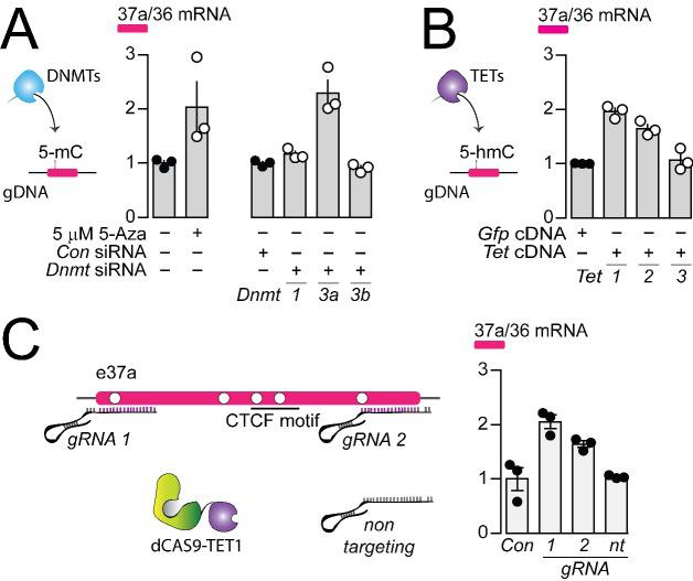 The DNA methyltransferase 3a inhibits, and ten-eleven translocating protein 1 and 2 promote Cacna1b e37a inclusion. ( A ) DNA methyltransferases (DNMTs) methylate CpG sites in gDNA. qRT-PCR of Cacna1b e37a relative to e36 levels in F11 cells in the absence and after 3 day treatment with 5 μM 5-Aza (t-test P value = 0.0923), and in cells expressing control siRNAs ( Con ) or siRNAs targeting Dnmt1 , Dnmt3a , or Dnmt3b after 3 days (ANOVA P value = 0.0002, Dunnett's multi-comparison P values for Con vs Dnmt1 siRNA = 0.6925, Con vs Dnmt3a siRNA = 0.0003, and Con vs Dnmt3b siRNA = 0.9226) (three biological replicates per condition). ( B ) Ten-eleven translocating proteins (TETs) promote demethylation of CpG sites in gDNA. qRT-PCR of Cacna1b e37a relative to e36 levels in F11 cells expressing control Gfp , Tet1 , Tet2 , or Tet3 cDNAs for 3 days (ANOVA P value =