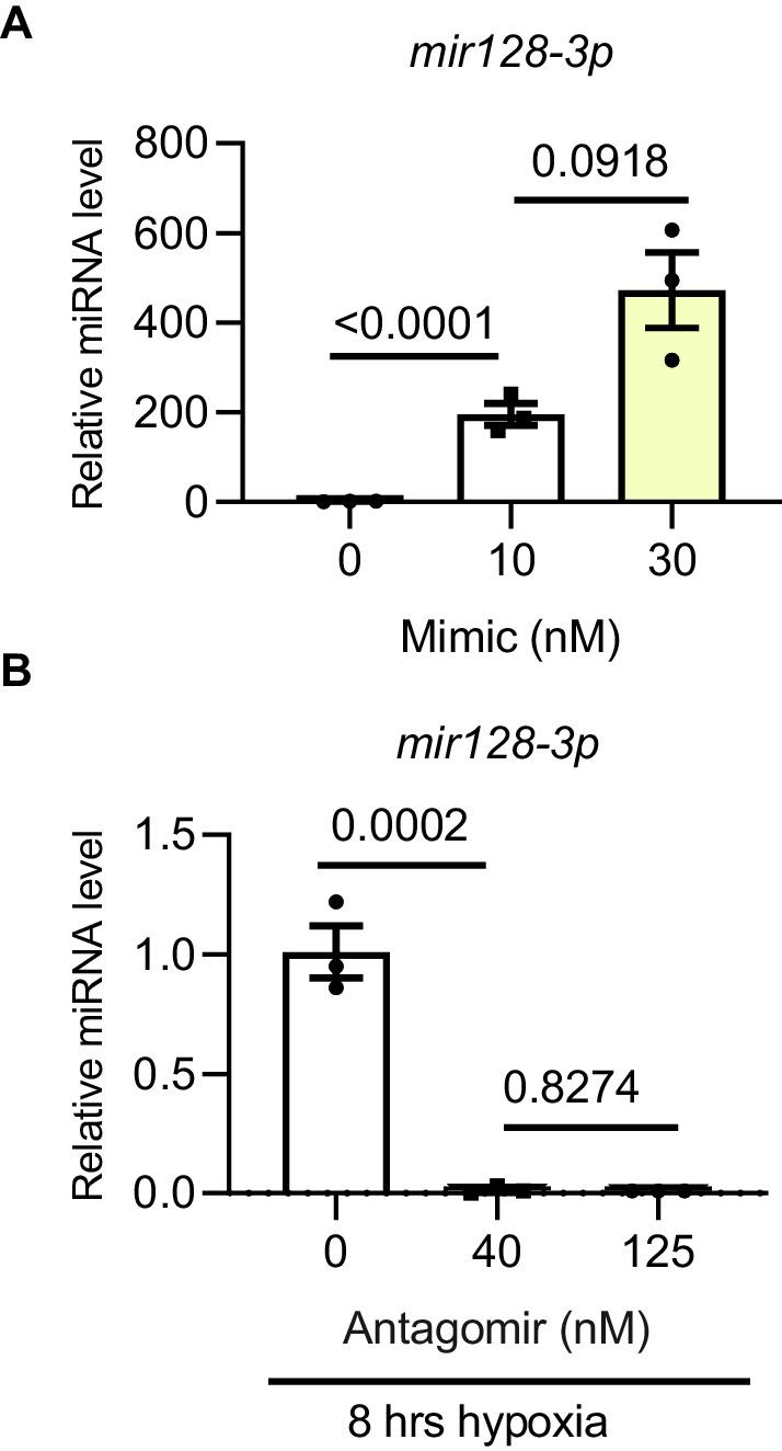 Mir128-3p overexpression and inhibition optimization. Validation of mir128-3p mimic and antagomir. ( A ) mir128-3p mimic and ( B ) antagomir validation was carried out on H9C2 cells at different concentrations. Mature miRNA was measured by TaqMan Advanced miRNA qPCR. Data were normalized against mature mir191-5p expression (N = 3 experiments). Data presented as mean ± SEM. Groups were compared using one-way ANOVA followed by Bonferroni post hoc tests. Mir128-3p overexpression and inhibition optimization.