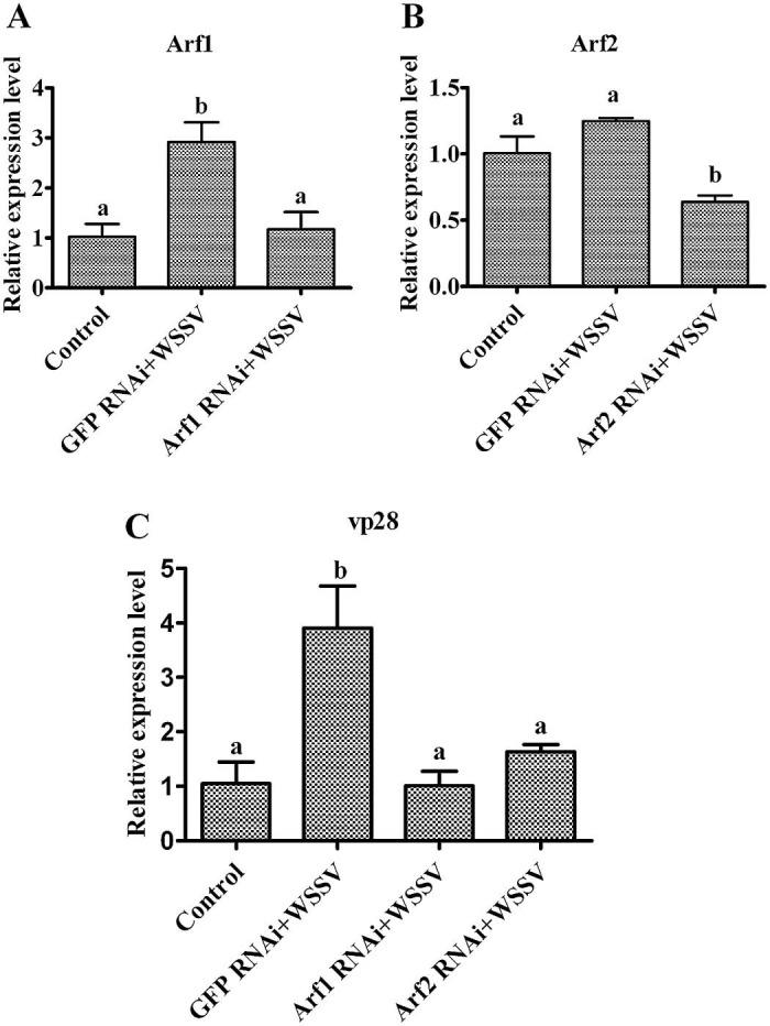MrArf1 and MrArf2 knockdown decreases WSSV in giant freshwater prawn. The giant freshwater prawn was subjected to RNA interference with dsGFP as the control. (A, B) Effect of MrArf1 and MrArf2 RNAi on the target gene levels in the gills analyzed via qRT-PCR. (C) The giant freshwater prawn was infected with WSSV after MrArf1 and MrArf2 knockdown, and the amount of WSSV was detected via qRT-PCR using vp28 as a marker. Bars represent the mean of three individual measurements ± SEM. Differences between groups were analyzed using one-way ANOVA followed by a Tukey's multiple comparison test. Different letters indicate significant difference ( P