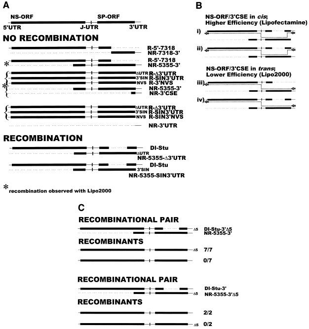 Recombination at the 3′ end of the genome. Genomic diagrams of pairs of replicating and nonreplicating transcripts are shown in (A) that either failed to yield recombinants (NO RECOMBINATION) or yielded recombinants (RECOMBINATION) when Lipofectamine was used as the transfection reagent. Brackets indicate both replicating and nonreplicating transcripts used individually in cotransfections with a common replicating transcript(s) with a similar result. In some cases, transcript pairs that failed to yield recombinants following Lipofectaine-mediated transfection did yield recombinants when Lipofectamine 2000 was used, as indicated by an asterisk. In (B) is shown a model based on observations reported in (A) and previous reports that initiation of negative-strand synthesis is preferential for the NS-ORF and 3′CSE in cis . When one of the transcripts has the NS-ORF and 3′CSE in cis (i), negative-strand initiation and subsequent recombination is efficient to the extent that recombination is observed when Lipofectamine is used as the transfection reagent. When the NS-ORF and 3′CSE are in trans (iv), negative-strand initiation and recombination are less efficient and recombination is only observed when Lipofectamine 2000 is employed. This model predicts that when the NS-ORF and 3′CSE are available either in cis or in trans (ii and iii), initiation of minus-strand synthesis will occur preferentially on the 3′CSE in cis with the NS-ORF. To determine from which transcript the 3′ end of the recombinant was derived in such a situation, DI-Stu and NR-5355-3′ transcripts generated from constructs with a wt 3′ end or a construct with a deletion of 5 nt from the 3′ end of the genome [these constructs maintained the poly(A) tract] were used in cotransfections (Lipofectamine 2000) and virus recovered from recombinant plaques was sequenced across the region of overlap at the 3′ end of the genome. As shown in (C), recombinants uniformly had the 3′ end derived from the replicating parent