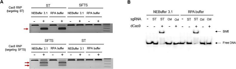 Ability of dCas9 ribonucleoprotein (RNP) in reaction buffer. (A)  in vitro  cleavage assay to investigate the activity of gRNAs in the RPA buffer condition. Cas9 RNP could cleave the PCR products in both the RPA buffer and the NEBuffer 3.1 condition only when gRNAs were matched to the target PCR products. (B) Electrophoretic mobility shift assay (EMSA) using dCas9 RNP and the 5′ biotinylated DNA duplexes. The target DNA duplexes were only shifted with the matched gRNAs in both the RPA buffer and the NEBuffer 3.1 condition.