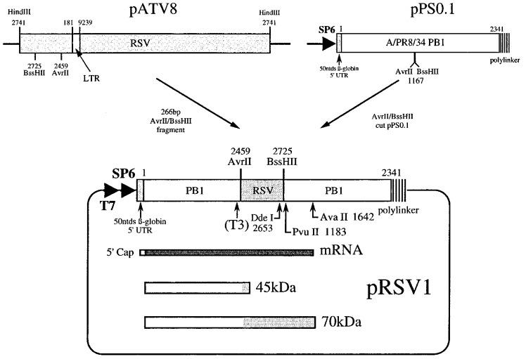 Construction of plasmid pRSV1. A 266 bp Avr II- Bss HII fragment encompassing the RSV frameshift region was isolated from plasmid pATV8 (which harbours a proviral clone of RSV Prague C; Schwartz et al ., 1983 ) and subcloned into the PB1 reporter gene of plasmid pPSO.1, a derivative of pPSO (Somogyi et al ., 1993) with unique Avr II and Bss HII sites. The open reading frames in pRSV1 are such that the upstream portion of the PB1 reporter gene is in frame with the gag gene and the downstream portion, the pol gene. Analysis of the secondary structure of the RNA at the RSV frameshift site by primer extension was on mRNAs prepared by linearisation of pRSV1 with Pvu II and subsequent transcription with T7 RNA polymerase. For structural analysis of end-labelled RNA, related plasmids containing a T3 promoter were prepared (see the text), linearised with Dde I and transcribed with T3 RNA polymerase. In ribosomal frameshift assays, capped mRNAs were prepared by SP6 transcription from Ava II linearised template. The predicted non-frameshifted (45 kDa) and frameshifted (70 kDa) species generated upon in vitro translation of such mRNAs in RRL are shown.