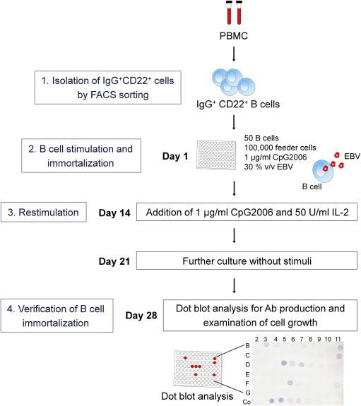 B cell immortalization procedure. IgG + CD22 + B cells are isolated from PBMC by FACS sorting (1) and thereafter immortalized using simultaneous B cell stimulation and infection. B cells are cultured during 2 weeks in microtiter plates at 50 cells per well in the presence of 1 × 10 5 autologous irradiated feeder cells, 1 μg/ml CpG2006 and 30% v/v EBV-containing supernatant of the B95-8 cell line (2). After this immortalization phase, the cells are restimulated during 1 week with 1 μg/ml CpG2006 in combination with 50 U/ml IL-2 (3). The culture medium is then replaced and cultures are continued without the addition of stimuli for 1 week. Immortalization status is verified after 28 days of culture by performing dot blot analysis for antibody production and by light microscopic examination of cell growth (4).