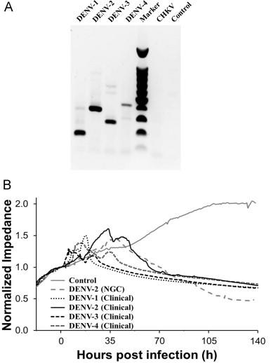 (A) Specific typing of clinical DENV isolates by RT-PCR of cytoplasmic RNAs of virus-infected and uninfected BHK-21 cells. Agarose gel electrophoresis of RT-PCR products displaying diagnostic target sizes of 169, 362, 265 and 426 base-pairs (bp) for DENV-1, -2, -3 and -4, respectively, which were absent for Chikungunya virus-infected (CHKV) and uninfected BHK-21 cells (Control), thus showing good specificity. The 100-bp DNA ladder size marker was also included. (B) Normalized impedance signal response as a function of viral infection time for four different DENV serotypes isolated from clinical samples. DENV-2 NGC-infected cells and uninfected control cells were also included. EIS data were recorded at an open circuit potential, frequency of 4 kHz, and excitation amplitude of 10 mV. Vertical lines for each virus indicate the onset of CPE. Conditions: MOI=5, BHK-21 host cells; growth medium constitutes the background electrolyte.
