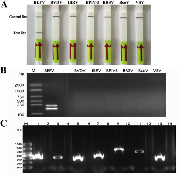 Analytical specificity of the BEFV LFD-RPA assay. (A) Specificity of the LFD-RPA assay. The specificity of the assay was assessed for other bovine viral pathogens with similar clinic and etiologies. Lane 1: positive control of BEFV; Lanes 2 to 7: BVDV, IBRV, BPIV-3, BRSV, BcoV and VSV, respectively. Samples were tested in triplicate with one reaction displayed in figure for each triplicate. (B) The results of amplification products of the LFD-RPA on 2% agarose gel. Lane 1: positive control of BEFV; Lanes 2 to 7: BVDV, IBRV, BPIV-3, BRSV, BcoV and VSV, respectively. (C) The quality detection of RNA/DNA of BVDV, IBRV, BPIV-3, BRSV, BcoV and VSV. The RNA/DNA of BEFV, BVDV, IBRV, BPIV-3, BRSV, BcoV and VSV prepared for specificity detection were undertook PCR reaction with viral specific primers ( Supplementary Table 1 ). The positive amplification results were shown in Lane 1, Lane 3, Lane 5, Lane 7, Lane 9, Lane 11, Lane 13, respectively. Lane 2, Lane 4, Lane 6, Lane 8, Lane 10, Lane 12, Lane 14 were negative controls with DNase-free water as template.