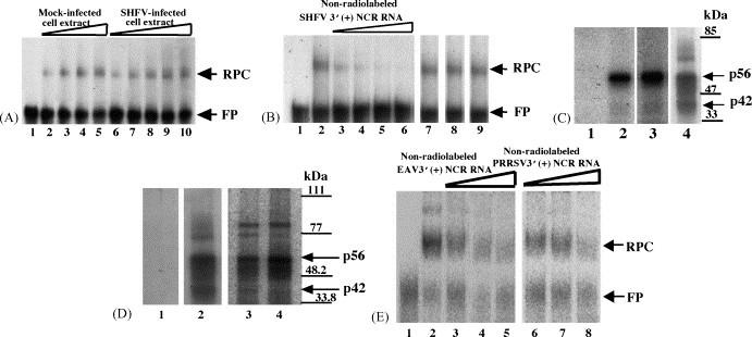 Analysis of the interaction between proteins in MA104 cell extracts and 32 P-labeled arterivirus 3′(+)NCR RNAs. (A) Gel mobility shift assay. Radiolabeled SHFV 3′(+)NCR RNA was incubated with an S100 cytoplasmic extract from either SHFV-infected or mock-infected MA104 cells. The RPCs were resolved on a 10% non-denaturing polyacrylamide gel and visualized by autoradiography. (Lane 1) free probe; (lanes 2–5) increasing amounts of mock-infected MA104 S100 cytoplasmic extract (100, 200, 300, and 400 ng); (lanes 6–10) increasing amounts of SHFV-infected MA104 S100 cytoplasmic extract (100, 200, 300, 400, and 500 ng). The locations of the RNA–protein complex and free probe are indicated by arrows. (B) Competition gel mobility shift assay. Different amounts of non-radiolabeled competitor RNAs were incubated with an MA104 S100 cytoplasmic extract before addition of the 32 P-labeled SHFV 3′(+)NCR RNA. The RPCs were resolved on a 10% non-denaturing polyacrylamide gel and visualized by autoradiography. (Lane 1) free probe; (lane 2) no competitor; (lanes 3–6) increasing amounts of non-radiolabeled SHFV 3′(+)NCR RNA (5-, 10-, 20-, and 30-fold molar excess); (lane 7) 250-fold molar excess of yeast tRNA; (lane 8) 150-fold molar excess of WNV 3′(+)SL RNA; (lane 9) 250-fold molar excess of poly(I)–poly(C). The locations of the RNA–protein complex and free probe are indicated by arrows. (C) UV-induced cross-linking assay. MA104 S100 cytoplasmic extracts were incubated with radiolabeled SHFV 3′(+)NCR RNA and then were exposed to UV-irradiation. The unprotected RNA was digested with RNase A and the cross-linked proteins were resolved by 10% SDS–PAGE and visualized by autoradiography. (Lane 1) free probe; (lane 2) mock-infected MA104 S100 cytoplasmic extract (1 μg) and poly(I)–(C) (1 μg); (lane 3) SHFV-infected MA104 S100 cytoplasmic extract (1 μg) and poly(I)–(C) (1 μg); (lane 4) mock-infected MA104 S100 cytoplasmic extract (1 μg) and poly(I)–(C) (600 ng). Standard protein markers are 