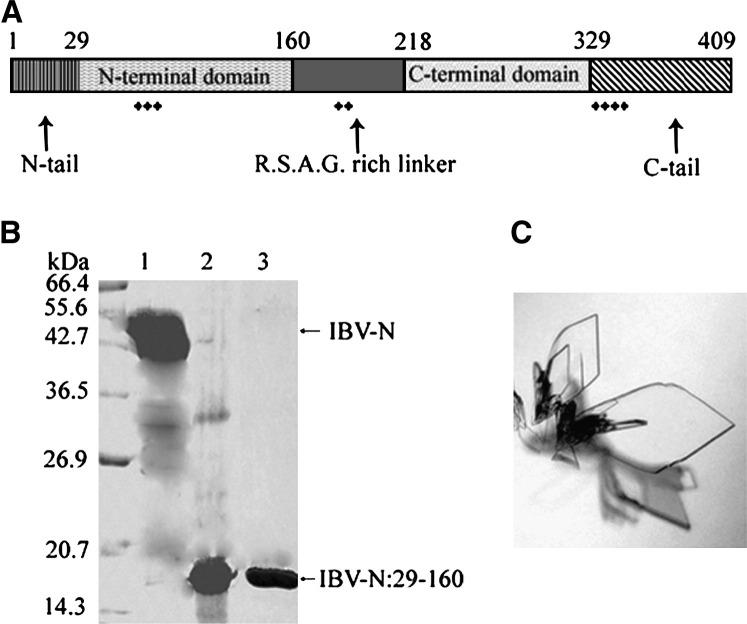 Structural Domains of the IBV-N Protein (A) Schematic representation of the IBV-N protein depicting its various domains and clustering of positive charges, as inferred from the present and other studies. (B) SDS-PAGE analysis of the full-length recombinant IBV-N protein of 44.9 kDa (lane 1, arrow) and the N-terminal proteolytically stable fragment of 14.7 kDa spanning residues 29–160 of the sequence which was crystallized (lane 2). The recombinant IBV-N29-160 is shown in lane 3. (C) Typical plate-shaped crystals of the recombinant IBV-N29-160 protein.