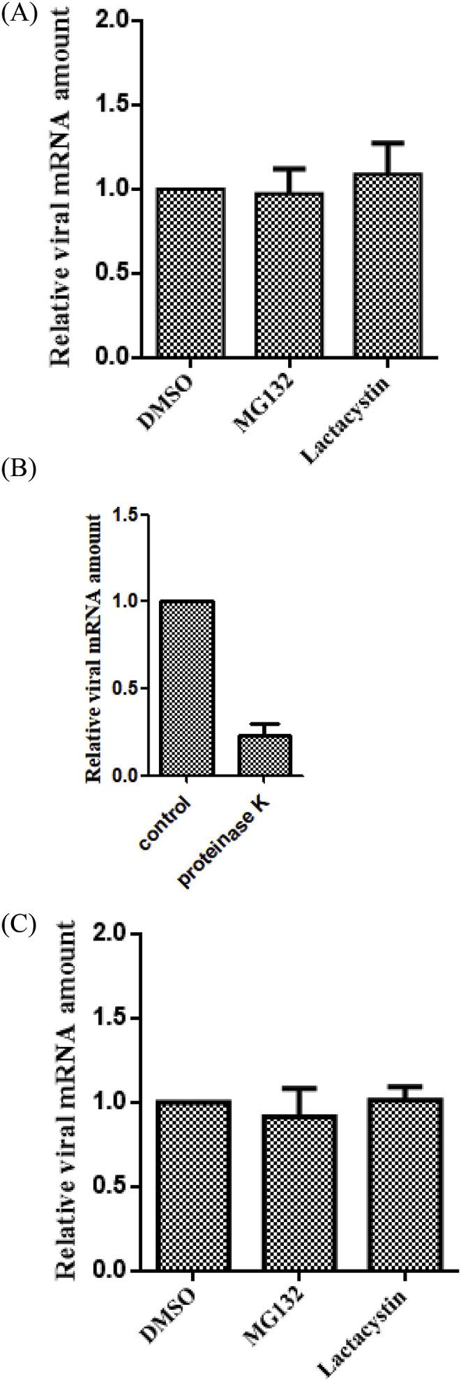 Proteasome inhibitors do not affect virus binding, penetration or internalization. (A) BHK-21 cells were pretreated with 2 μM MG132, 5 μM lactacystin for 1 h at 37 °C and absorbed with DTMUV (MOI = 1) for 1 h at 4 °C in the presence of the inhibitors. Then the cells were collected and the viral genomic RNA of the infected cells treated with the inhibitors relative to that of treated with DMSO was quantified by qPCR. (B) BHK-21 cells were incubated with DTMUV at 4 °C for 1 h and treated with proteinase K or cold PBS for 45 min at 4 °C after the unbound virus was washed out by PBS. Cells were collected and the viral genomic RNA of the infected cells was quantified by qPCR (C) BHK-21 cells were pretreated with the inhibitors or DMSO for 1 h at 37 °C and absorbed with DTMUV (MOI = 1) for 1 h at 4 °C in the presence of the inhibitors. Then the cells were shifted to 37 °C for 2 h followed by washing with cold PBS. After treating with proteinase K for 45 min at 4 °C, the BHK-21 cells were collected and the internalized virions were quantified by qPCR.