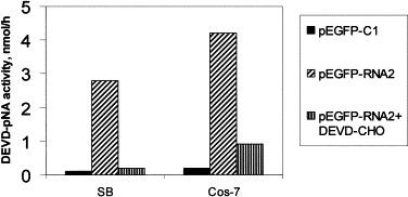 Protein α induces activation of caspase-3 proteases in both SB and Cos-7 cells. Cell lysates from SB or Cos-7 cells transfected with plasmids pEGFP-RNA2 or pEGFP-C1 were harvested at 24 h post-transfection and assayed for DEVDase activity using the caspase-3 colorimetric substrate DEVD-pNA. In addition, cells transfected with pEGFP-RNA2 were treated with DEVD-CHO. The pEGFP-C1 was used as a negative control and to maintain equal plasmid DNA concentration for each of the transfections. Values shown are means from duplicate experiments.