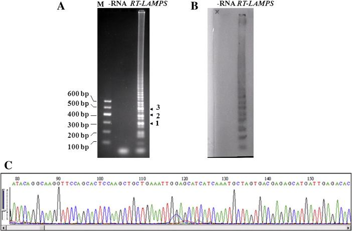RT-LAMP amplification of EV71 RNA, confirmed by Southern blot and sequencing analysis. (A) RT-LAMP reaction solution detected by running with 2% agarose. M: DNA marker; −RNA: without EV71 RNA; RT-LAMP: complete EV71 RT-LAMP reaction. (B) Southern blot detection of EV71 RT-LAMP products. EV71 VP1 probe labeled by digoxin. (C) Representation of the partial sequencing results of bands 1–3 in (A).