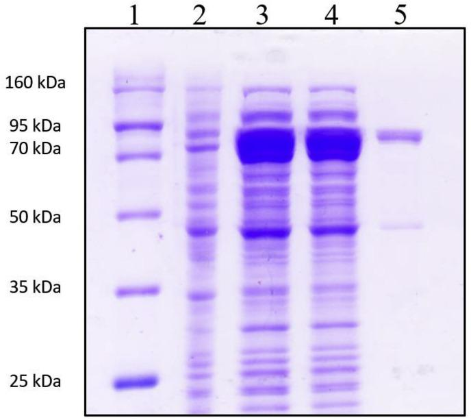 SDS-PAGE validation of purified <t>rHaMLEC</t> fusion protein. Lane 1 = protein size marker (Enzynomics-Korea); Lane 2 = supernatant from E. coli BL21 (DE3) transfected with <t>rHaMLEC-pMAL-c5X;</t> Lane 3 = total extract from IPTG-induced E. coli BL21 (DE3) cells transfected with rHaMLEC-pMAL-c5X; Lane 4 = supernatant of IPTG-induced E. coli BL21 (DE3) cells transfected with rHaMLEC-pMAL-c5X; Lane 5 = purified rHaMLEC-MBP fusion protein.