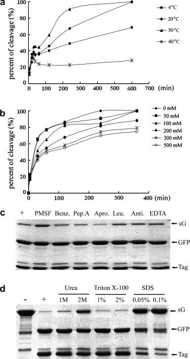 Impacts of temperature, ionic strength, and protease inhibitors on the enzymatic activity of recombinant PPV NIa protease. (a) Effect of temperature on the enzymatic activity of recombinant PPV NIa protease. Fifty micrograms of substrate sG and 1 μg of protease were incubated at different temperatures (4, 20, 30, and 40 °C) with a final substrate concentration of 1 μg/μl in the reaction system. The corresponding aliquots were collected and analyzed at different time points (5, 20, 30, 40, 60, 120, 240, and 600 min). (b) Effect of salt on the enzymatic activity of recombinant PPV NIa protease. Fifty micrograms of substrate sG and 1 μg of protease were incubated at 30 °C in the reaction buffer containing additional NaCl at increasing concentration (0, 50, 100, 200, 300, and 500 mM). The aliquots were collected and analyzed at each time point (5, 30, 60, 120, 240, and 360 min). (c) Effect of protease inhibitors on the enzymatic activity of recombinant PPV NIa protease. Fifty micrograms of substrate sG and 1 μg of protease were included in a 50 μl reaction system at 30 °C for 2 h in the presence of the indicated protease inhibitors. PMSF, phenylmethanesulfonyl fluoride; Benz, benzamidine; Pep. A, pepstatin A; Apro, aprotinin; Leu, leupeptin; Anti, antipain-dihydrochloride; EDTA, ethylene diamine tetraacetic acid. The reaction mixture in the absence of protease inhibitors was used as the positive control. (d) Effect of detergents and denaturing reagents on the enzymatic activity of recombinant PPV NIa protease. Eighty micrograms of substrate sG and 1 μg of protease were included in a 50 μl reaction system at 30 °C for 3 h in the presence of the indicated reagent. The concentration units of urea, Triton X-100, and SDS were mol/L, % (v/v), % (w/v), respectively. The reaction mixture without additional reagents was used as the positive control and uncleaved substrate sG was used as negative control.