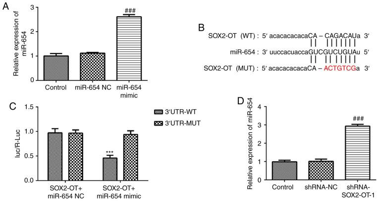 SOX2-OT targets miR-654 in TU-177 cells. (A) The expression of miR-654 in TU-177 cells transfected with miR-654 mimic or negative control. (B) The predictive miR-654 binding sequences in SOX2-OT. (C) Luciferase reporter assay was applied to determine the luciferase activity of TU-177 cells co-transfected with miRNAs and luciferase reporter vectors containing wild-type or mutant SOX2-OT 3'untranslated region. (D) Reverse transcription-quantitative PCR was performed to evaluate the expression of miR-654 in TU-177 cells transfected with shRNA-NC or shRNA-SOX2-OT-1. Data are expressed as mean ± standard deviation. *** P