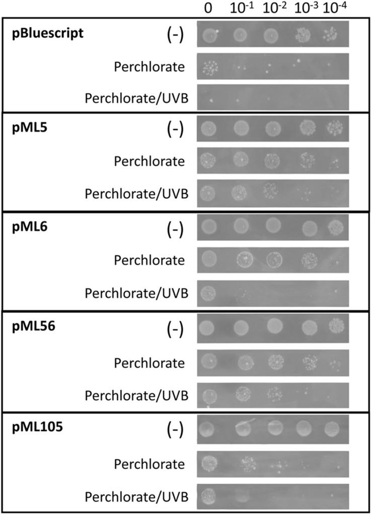 Drop assay of the four clones resistant to UV radiation to test perchlorate resistance. <t>DH10B</t> pBlueScript SK (+) was used as a negative control. 10 μl drops of serial dilutions of overnight cultures adjusted to an OD 600 = 1.0 were inoculated on LB solid medium supplemented with perchlorate 125 mM. An additional test was performed combining UVB (312 nm) radiation exposure during 80 s at 2.26 W m –2 and perchlorate (125 mM). A negative control without irradiation (–) was performed to verify the normal growth of the clones. Each experiment was performed at least three times using independent cultures.