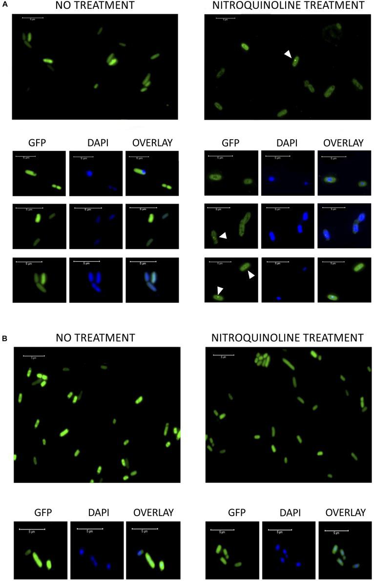 (A) Fluorescence microscopy images of DH10B cells expressing the hypothetical protein encoded by pML105- orf1 gene fused to GFP [DH10B pTU65- orf1 (105): gfp ]. On the left, cells growing exponentially before treatment with 4-NQO. On the right, cells from the same culture treated with 4-NQO (50 μM). White arrowheads indicate bright fluorescence foci. Below, microscopy images of selected cells are observed (GFP, DAPI staining and the overlay of both images). (B) Fluorescence microscopy images of DH10B cells expressing GFP constitutively [DH10B Δ rbsAR:cat_sf-gfp ]. On the left, cells growing exponentially before treatment with 4-NQO. On the right, cells from the same culture after treatment with 4-NQO (50 μM). Below, microscopy images of selected cells are observed (GFP, DAPI staining and the overlay of both images). White bars indicate 5 μm scale.