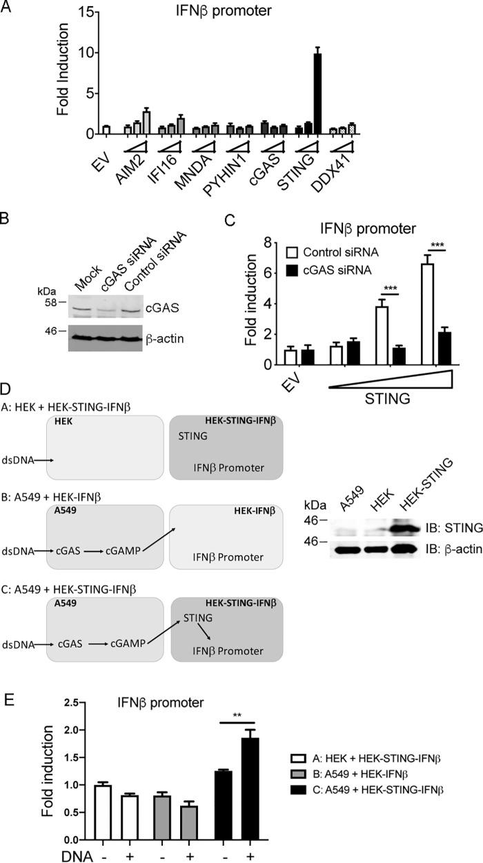 STING expression restores a cGAS-dependent response to DNA in A549 cells. A, 1 × 10 5 /ml A549 cells were transfected with IFNβ promoter luciferase reporter together with EV or increasing amounts of AIM2, IFI16, MNDA, PYHIN1, cGAS, STING, or DDX41 expression vectors. Wedges indicate increasing amount of the expression vectors (2, 10, 50 ng). Cells were lysed 24 h after transfection and assessed for reporter gene activity. Data are shown as relative fold-induction normalized to EV-only transfected cells. The data are mean ± S.D. of triplicate samples and are representative of three experiments. B, A549 cells (0.5 × 10 5 /ml) were transfected with 12.5 ng/ml control or cGAS siRNA 24 h and then again 48 h after cells were seeded. 24 h later cell lysates were generated and immunoblotted for cGAS and β-actin. Representative of two experiments. C, cells were treated with siRNA as in B , and 24 h later transfected with IFNβ promoter luciferase reporter together with EV or increasing amounts of STING expression vector. Wedge indicates increasing amount of STING expression vector (2, 10, 50 ng). Cells were lysed 24 h after transfection and assessed for reporter gene activity. ***, p