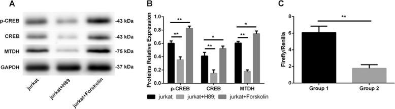 mPGES-1/PGE2 regulated MTDH expression via the cAMP/PKA-CREB pathway. The adenylate cyclase (AC) agonist forskolin increased the expression of p-CREB, CREB and MTDH, while the protein kinase A (PKA) inhibitor H89 induced the opposite effects on these proteins ( a , b ). The relative luciferase activity (firefly/Renilla) in group 1 (cells cotransfected with pCMV-GFP-Puro-01-CREB1, pGL3-MTDH and pRL-TK) was almost 3.43 times that in group 2 (cells cotransfected with pCMV-GFP-Puro-NC, pGL3-MTDH and pRL-TK) ( c ). ** p