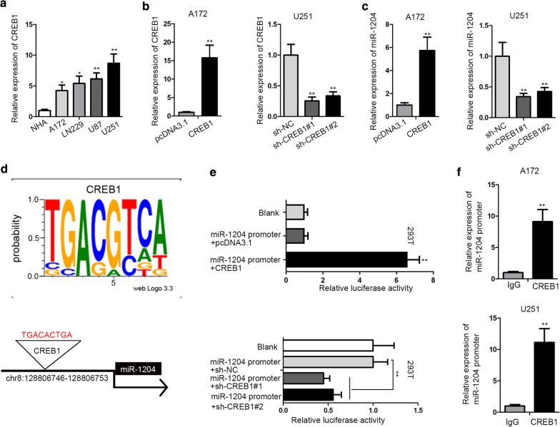 MiR-1204 was transcriptionally activated by CREB1 in GBM. a The upregulation of CREB1 in GBM cells was confirmed by RT-qPCR. b The overexpression efficiency of CREB1 in A172 cells and the knockdown efficiency of CREB1 in U251 cells were confirmed by RT-qPCR. c MiR-1204 expression under the overexpression and knockdown of CREB1 in A172 and U251 cells were detected by RT-qPCR. d The DNA motif of CREB1 and the CREB1 binding site on miR-1204 promoter were obtained from miRGen. e Luciferase reporter assay was used to detect the impact of CREB1 on miR-1204 transcription. f ChIP assay was used to confirm the binding capacity between CREB1 and miR-1204 promoter. GAPDH was used as internal control for CREB1 expression detection, and U6 was used as internal control for miR-1204 expression detection. *P
