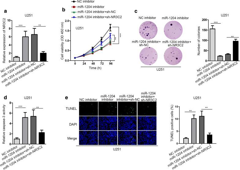 MiR-1204 drove GBM cell proliferation by inhibiting NR3C2 expression. U251 cells were transfected with NC inhibitor, miR-1204 inhibitor, miR-1204 inhibitor + sh-NC, and miR-1204 inhibitor + sh-NR3C2, respectively. a NR3C2 expression in U251 cells was detected by RT-qPCR. b , c The proliferation of U251 cells was examined by CCK-8 and colony formation assays. d , e The apoptosis of U251 cells was examined by caspase-3 activity and TUNEL assays. GAPDH was used as internal control for NR3C2 expression detection. **P