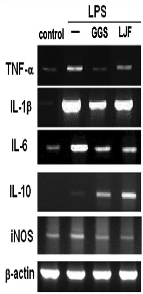 GGS and LJF affect LPS-induced inflammatory factor in RAW264.7 cells. RAW cells were challenged at baseline with LPS (10 ng/mL) or none ( n = 6). Raw cells receiving LPS were pretreated with 100 μg/mL GGS ( n = 6) and 10 μg/mL LJF. After 24 h, the cells were obtained and assayed. The mRNA of cells was collected, and pro-inflammatory cytokines and IL-10 were evaluated by RT-PCR. RT-PCR: Reverse transcription-polymerase chain reaction, LPS: Lipopolysaccharide, IL-10: Interleukin-10, GGS: Gingyo-san, LJF: Lonicerae japonica flos