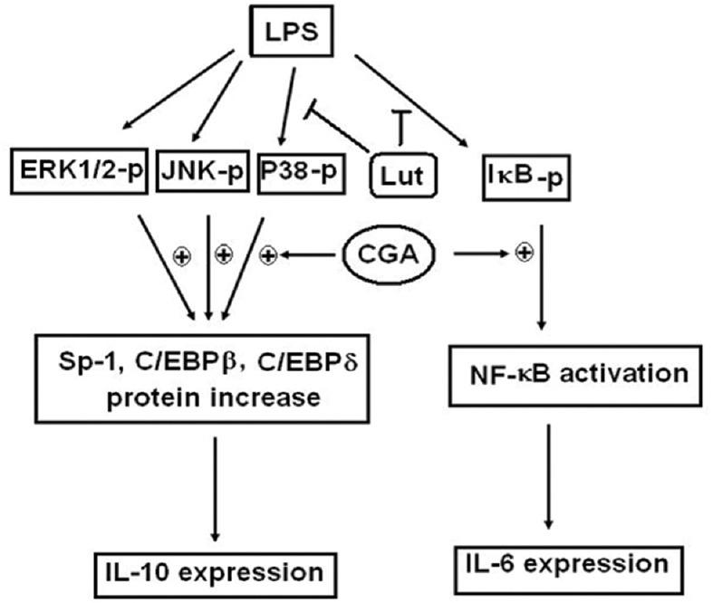 Schematic of adaptive immunoregulation of LUT and chlorogenic acid in LPS-induced <t>IL-10</t> expression. CGA enhanced LPS-induced expression of IL-10 and IL-6 and increased the expression of NF-κB, Sp1, C/EBPβ, and δ. The effect of CGA was interfered with LUT by suppressing the phosphorylation of IκB and p38 and downregulated NF-κB activity. In the event, IL-6 was suppressed and IL-10 was not influenced. LPS: Lipopolysaccharide, CGA: Chlorogenic acid, LUT: Luteolin, NF-κB: Nuclear factor-κB, IL-10: Interleukin-10