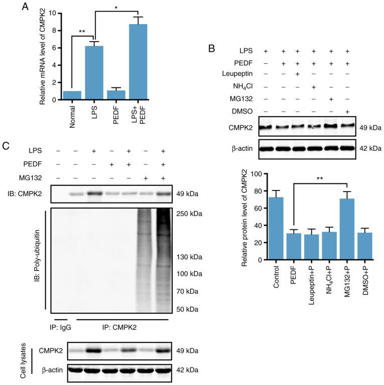 PEDF induces degradation of the CMPK2 protein via a ubiquitin-dependent proteasomal mechanism. (A) Relative mRNA expression levels of CMPK2 in normal, LPS-induced, PEDF-overexpressing cells, and LPS + PEDF overexpression HTR8/SVneo cells; n=5. (B) Western blot and densitometry analysis of CMPK2 in HTR8/SVneo cells treated with LPS, <t>leupeptin</t> general protease inhibitor, NH4Cl lysosomal inhibitor, MG132 proteasome-specific inhibitor or DMSO for 6 h following overexpression of PEDF; n=5. (C) Cells were pre-treated with PEDF or MG132 and subsequently treated with LPS, and CMPK2 was immunoprecipitated; n=5. CMPK2 ubiquitination was determined using an anti-ubiquitin antibody. * P