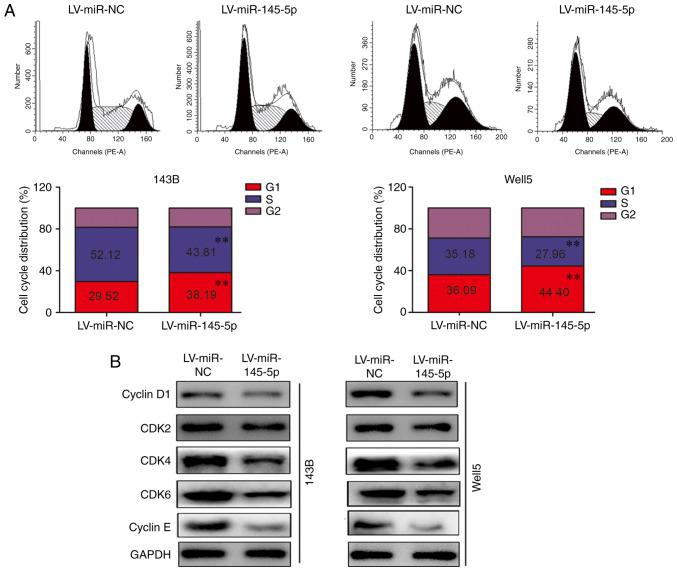 miR-145-5p induces G 1 phase arrest in osteosarcoma cells. (A) Cell cycle distribution analysis in 143B and Well5 cells overexpressing miR-145-5p. (B) Western blotting was used to detect the expression of CDK2, CDK4, CDK6, cyclin E and cyclin D1 in cells overexpressing miR-145-5p. GAPDH was used as loading control. ** P