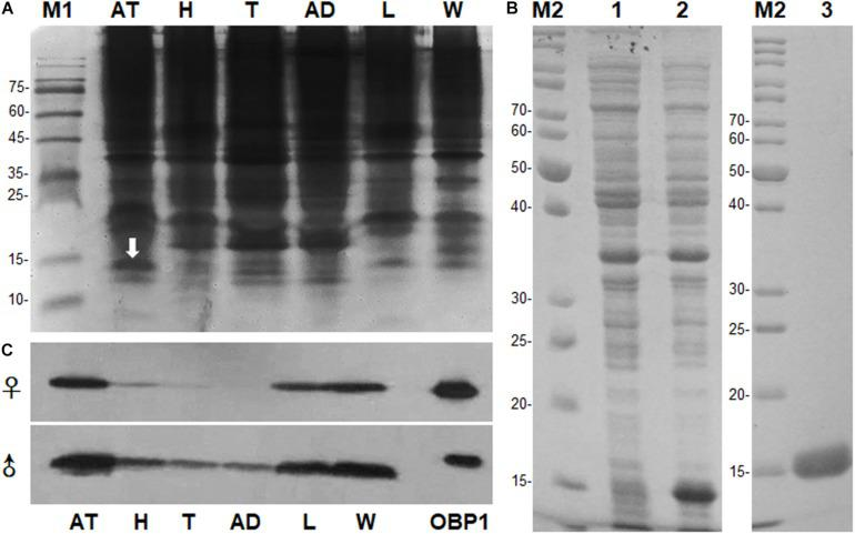 Sex- and tissue-expression profile of MaltOBP1. (A) Electrophoretic analysis of soluble proteins from Monochamus alternatus under 15% native PAGE. M1: Protein molecular weight marker. (B) Recombinant protein analyzed by SDS-PAGE. M2: Protein molecular weight marker; Lane 1: Non-induced pET32a-MaltOBP1 in Escherichia coli ; Lane 2: Expressed protein pET32a-MaltOBP1-His after induction by IPTG; Lane 3: pET32a-MaltOBP1 protein purified through Ni-NTA column; (C) Western blot analysis of MaltOBP1 expression in total protein extracts of male and female adults of M. alternatus . AT, antennae; H, head; T, thorax; AD, abdomen; L, leg; W, wing; OBP1, Recombinant MaltOBP1.