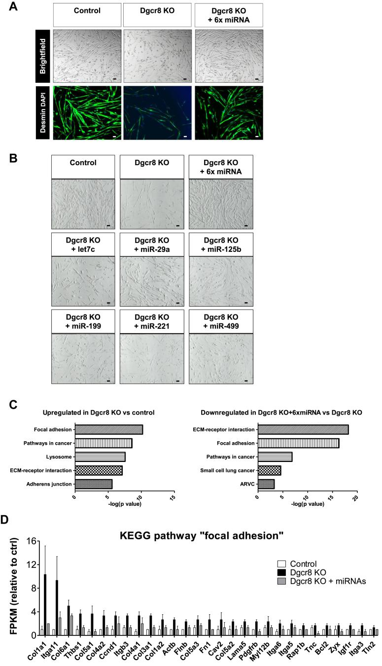 A combination of six miRNAs rescues myotube morphology and reverses induction of the focal adhesion gene cluster following DGCR8 deletion. Dgcr8 KO and control myoblasts were transfected with control mimics, the indicated individual six miRNA mimics or their combination (6× miRNA) two days after beginning of the tamoxifen incubation. Twenty-four hours after transfection, myoblast differentiation was induced for 48 h. Myotube morphology was analyzed using immunofluorescence for desmin (A) and brightfield microscopy (B), 10× magnification. Scale bar = 50 μm. C. KEGG pathway analysis of RNA isolated from control, Dgcr8 myotubes and Dgcr8 myotubes transfected with the combination of six miRNAs. D. RNA levels as determined by RNA deep sequencing in control and DGCR8 knockout cells with or without transfection of the six miRNA mimics, n = 3. Shown are all genes that are significantly upregulated in the knockout cells and significantly downregulated after transfection with the mimics (p value