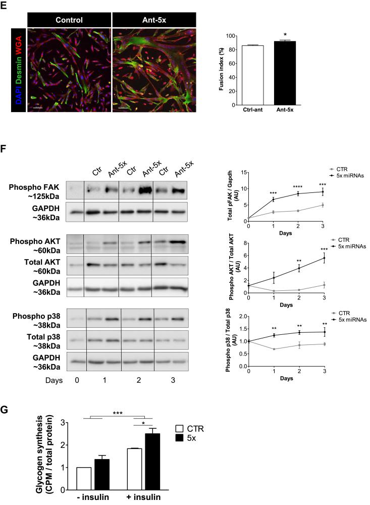 A combination of five miRNAs accelerates differentiation of human myoblasts and improves insulin sensitivity downstream of FAK signaling. Human primary myoblasts were transfected with equal concentrations of control antagomirs or antagomirs against the indicated miRNAs, either as single antagomirs or in combination (Ant-5x). Twenty-four hours after transfection, differentiation was induced for two days (A, B, C, E, G) or up to five days (D, F). A. Gene expression of myogenic regulatory factors and eMHC was analyzed by qRT-PCR and normalized for 18S RNA, n = 5. B. Protein expression of myogenin and eMHC was analyzed by western blot and normalized to GAPDH (n = 4–6). C. Luciferase vectors harboring either the myogenin 3′UTR (n = 4) or promoter region (n = 5) were transfected with miRNA mimics or antagomirs respectively. Myogenin mRNA from control and Ant-5x treated samples was measured by qRT-PCR at the indicated time points following Actinomycin D administration (n = 3). D. Time course of myogenin and eMHC protein expression during five days of differentiation, normalized to GAPDH (n = 4–6). E. Immunofluorescent analysis of myotube formation using anti-desmin and wheat germ agglutinin (WGA). Fusion index was calculated as percentage of nuclei present in cells containing at least two nuclei compared to all nuclei per well (scale bar 100um, n = 4). F. Phosphorylation of p38 MAPK, AKT and FAK during the first three days of differentiation, n = 4. G. Insulin-dependent glycogen synthesis, n = 3. ∗: p