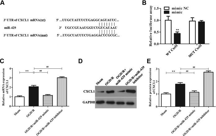 MicroRNA-429 directly targets Cxcl1 in OGD/R-treated BMECs. A, Comparison of the sequences of miR-429 and Cxcl1. B, The fluorescence intensity of Cxcl1-WT and miR-429 mimic cotransected cells was markedly declined, ** P