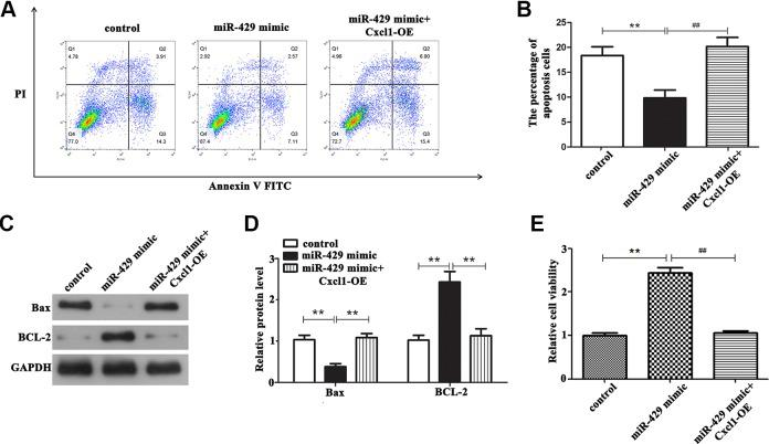 The effect of miR-429/Cxcl1 axis on biological behavior of OGD/R-treated BMECs. A and B, Overexpression of miR-429 can significantly reduce the apoptotic rate of cells compared with the control group, whereas overexpression of Cxcl1 can significantly reverse this effect, ** P